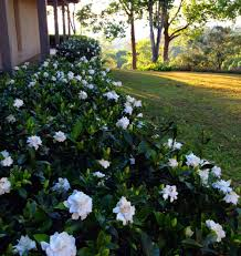 gardenia bush hedge this might be a nice replacement for those