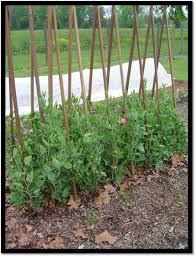 How To Make Trellis For Peas Growing Great Sweet Peas The Gardener U0027s Workshop