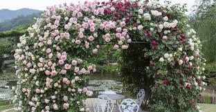 flowering vines that shade u0026 shine in summer u0027s heat my garden life