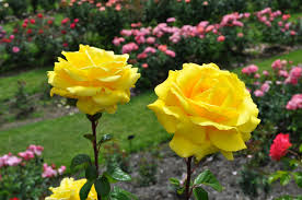 most beautiful rose gardens in the world k0umet1x jesus the almighty