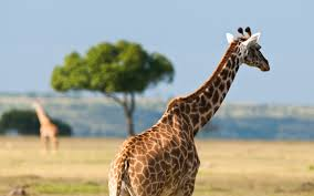 african safari animals african safari giraffe hd desktop wallpapers 4k hd