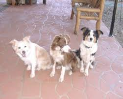 afghan hound breeders qld border collie breeders in qld pawbase
