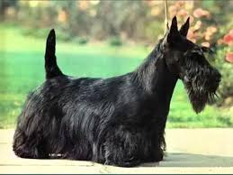 scottish yerrier haircuts cute pictures of dog terrier scottish picture ideas of dog