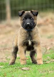belgian shepherd or malinois german shepherd breeder belgian malinois breeder