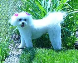 bichon frise 17 years old bichon frise breed information and photos thriftyfun