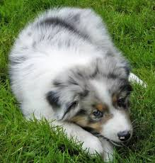 puppies indiana indiana the australian shepherd puppies daily puppy