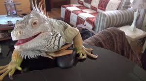 iguana trying to eat me youtube