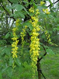 the phytophactor friday fabulous flower golden chain tree