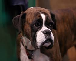 boxer dog 2015 this ugly truth behind the uk u0027s biggest beauty pageant for dogs