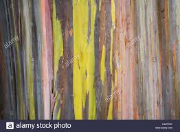 rainbow eucalyptus hawaii stock photos u0026 rainbow eucalyptus hawaii