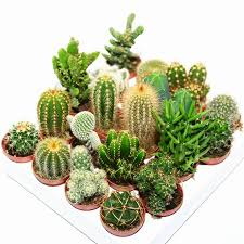 hexagon mini planter choice of succulent or cacti by dingading