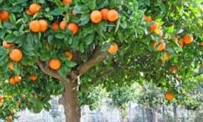 why the orange trees in the squares salta free walks