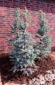 horstman blue atlas cedars great for flower beds best evergreen