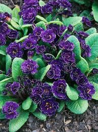 59 best garden flowers primrose images on pinterest primroses