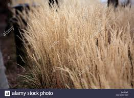 brown ornamental grass stock photo royalty free image