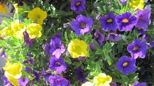 Flower Gardens Wallpapers - flower nature lovely peony white flowers flower garden wallpapers