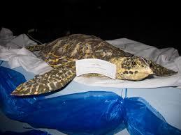 sea turtle artwork seychelles sea turtle festival