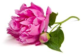 Peony Flowers by Peony Flower Meaning Flower Meaning