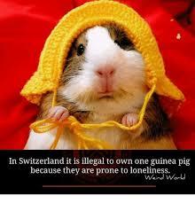 Guinea Pig Meme - 25 best memes about guinea pig guinea pig memes