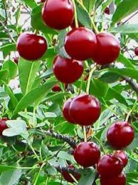 Online Fruit Trees For Sale - edible fruit trees apple tree for sale calgary honeycrisp