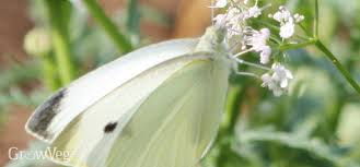 cabbage white butterflies how to avoid a brassica