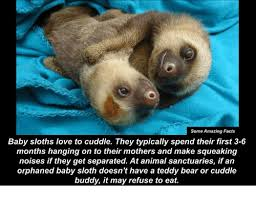 Cuddle Buddy Meme - 25 best memes about baby sloth baby sloth memes