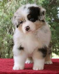 australian shepherd smart reminds me of when angel was able to spend her last christmas in