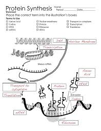 dna protein synthesis worksheet free worksheets library download