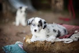 australian shepherd zucht deutschland border collie züchter mybordercollie de