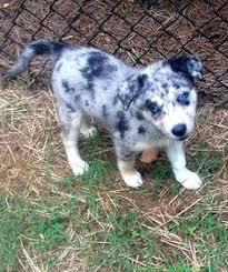 australian shepherd husky mix i want this puppy australian shepherd husky mix furry