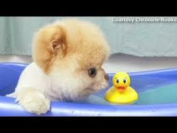 Dogs In The Bathtub Boo U0027the World U0027s Cutest Dog U0027 Isn U0027t Dead Youtube