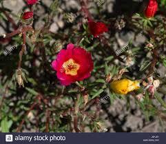 Rosa K He Kaufen Moss Rose Purslane Portulaca Grandiflora Botanical Garden Kit