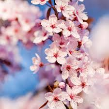 cherry blossoms images interfacelift wallpaper cherry blossoms