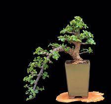 indoor bonsai tree ebay
