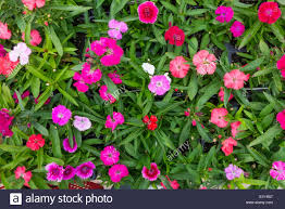 flowers in garden images dianthus marquis hardy pinks mixed flowers in a garden centre for