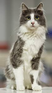 25 best beautiful cats ideas on pinterest cats pretty cats and