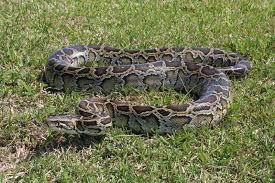 film ular phyton film ular lepas bikin panik para penumpang kereta api kertajaya