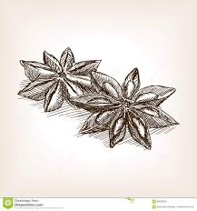 star anise hand drawn sketch style vector stock vector image