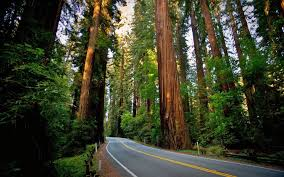 road sequoias redwood nature landscape forest wallpapers hd