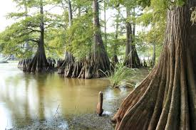 bald cypress trees for sale gulf white yellow cypress