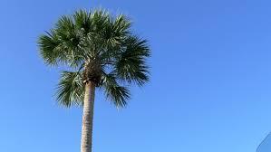 sugar palm tree with blue sky stock footage 1941676