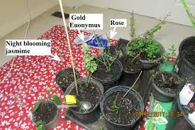 light requirements for growing tomatoes indoors growing tomatoes indoor