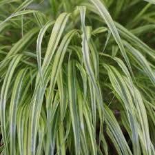 ornamental grasses for shade nurseries