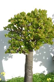Silk Plants Direct Jade Plant Jade Plant With A Trunk As Big As Your Forearm Plants