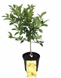 meyer lemon tree fruiting size branched plant 8 pot tree form