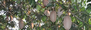 orphan crops consortium healthy africa through