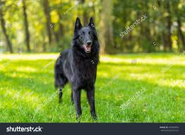 belgian sheepdog groenendael puppies beautiful fun groenendael dog puppy waiting stock photo 495986806