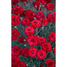 dianthus flower proven winners fruit punch maraschino pinks dianthus live plant