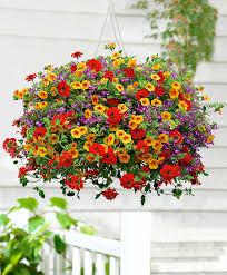 buy bedding plants now trixi u0027ayers rock u0027 mix bakker com