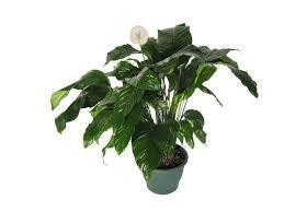 plante d駱olluante chambre nouvelle photo plantes depolluantes chambre à coucher image sur